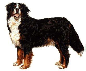 informatie vrijwel alle hondenrassen berner sennenhond